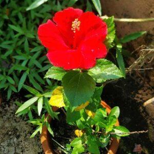 HIBISCUS FLOWERS [ गुड़हल फूल ]