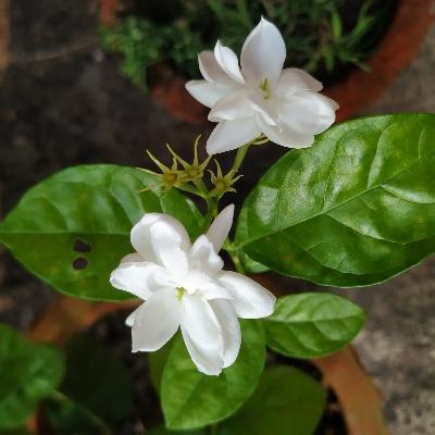 ARABIAN JASMINE (Belle or Mogra in India)