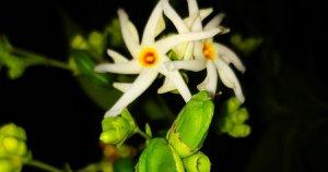How to grow night flowering Jasmine