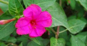 marvel of Peru plant / Four o clocks plant/ Gul Abbas plant/Sandhya Malti/Mirabilis Jalapa