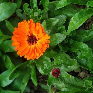 calendula flower image