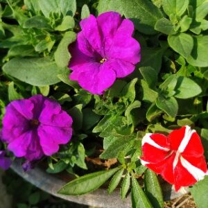 Petunia flowers: how to grow and care