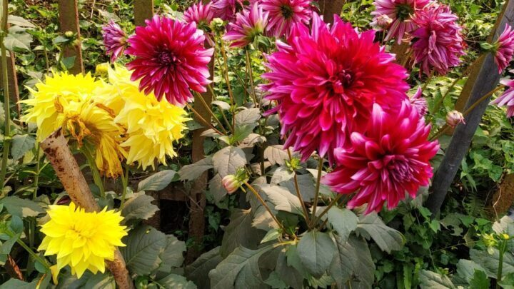Dahlia flowers: How to growing and care || beautiful Dahlia flower