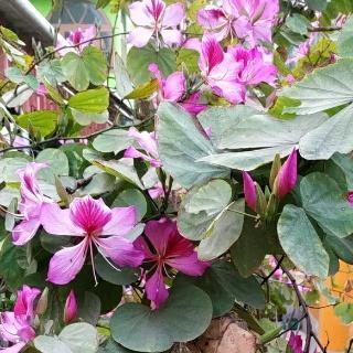 Bauhinia Variegate plantflower| Kanchnar plant flower| uses of Bauhinia Variegate|