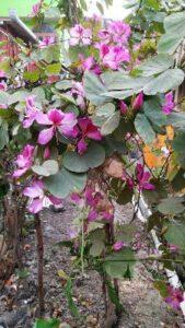 Mount ebony flowers