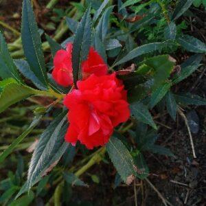 Balsam plant flowers