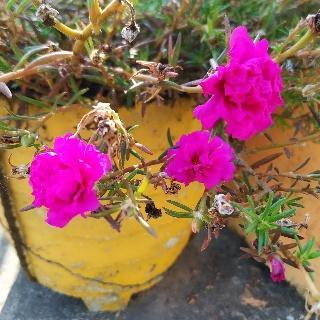 Mose rose: plant care & guide/Portulaca grandiflora/ 9 o clock