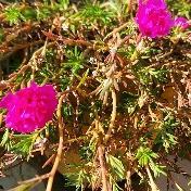 Portulaca flower image
