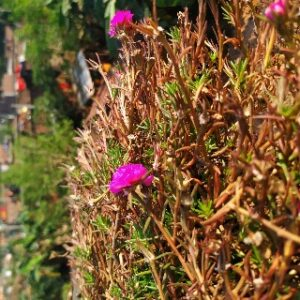 Picture of portulaca flower