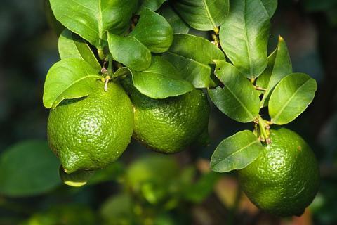 best-way-to-grow-lemon-trees-outdoors