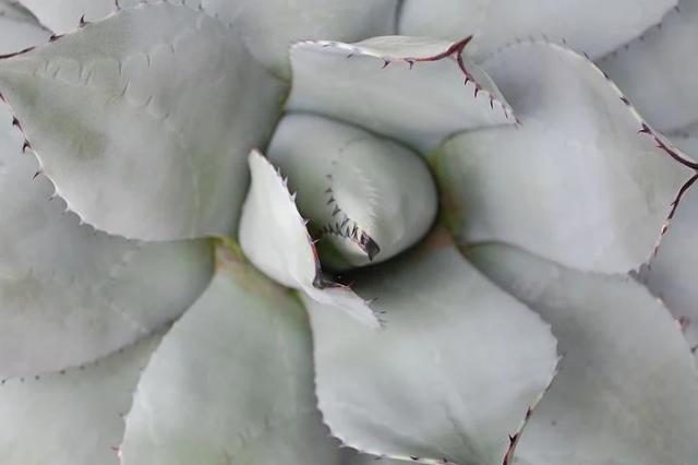White aloe vira